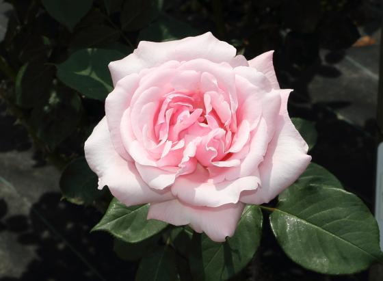 淡い桃色の整形花