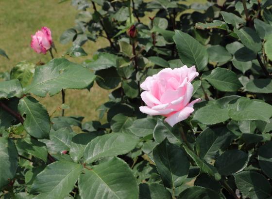 春芳は剣弁高芯咲きのバラ