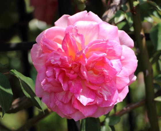 つるティー系統のピンク色の花