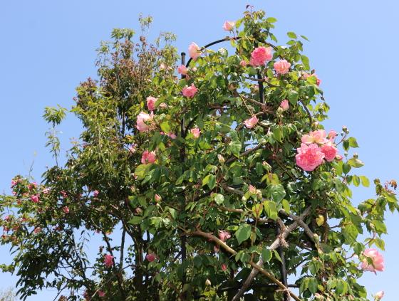 枝の伸長は約400cmくらい