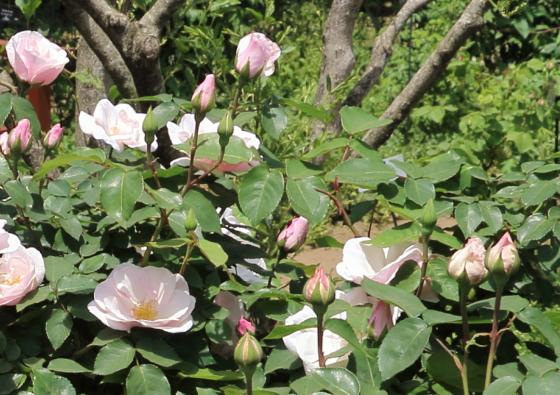 スヴニールドゥセントアンズは四季咲き性のバラ