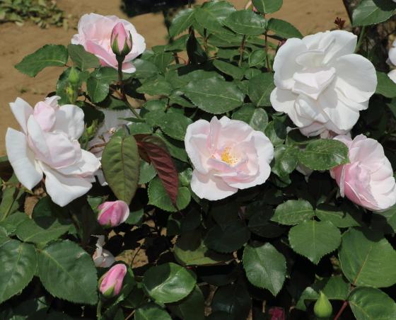スヴニールドゥセントアンズは淡いピンク色の大輪サイズ