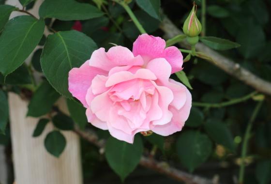 スパニッシュ ビューティーは大輪咲きのつるバラ