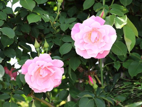 古くから人気のあるつるバラ品種