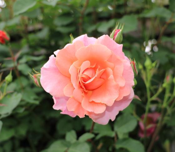 rラージ・フラワード・クライマー系統のバラ