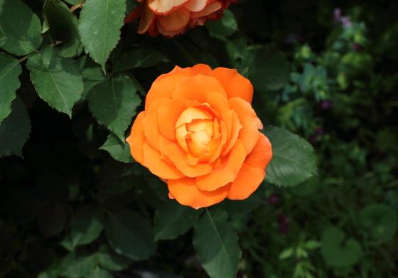 スーパートローパーは早咲きで花もちは中程度