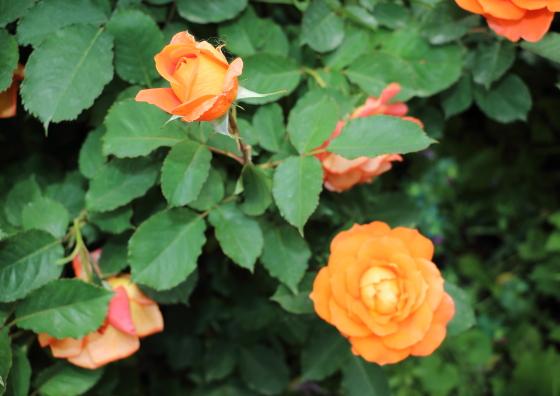 半剣弁高芯咲きのバラ