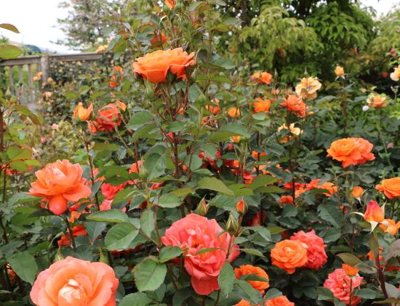 スーパー トローパーはフロリバンダ系統のバラ