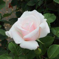 スイート アフトンはHT種のバラ