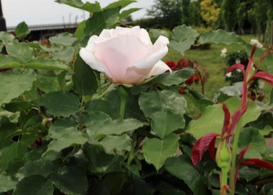 丸弁高芯咲きの花形