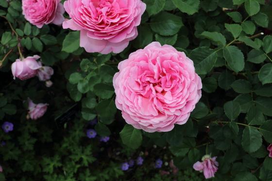 アラン ティッチマーシュはシュラブ系統のバラ