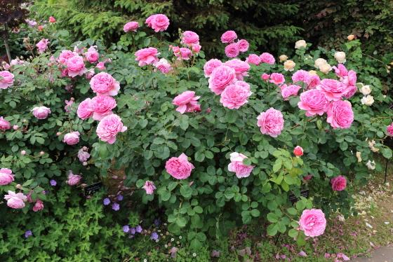 半つる性のバラで支柱に誘引してつるバラ仕立てが美しい