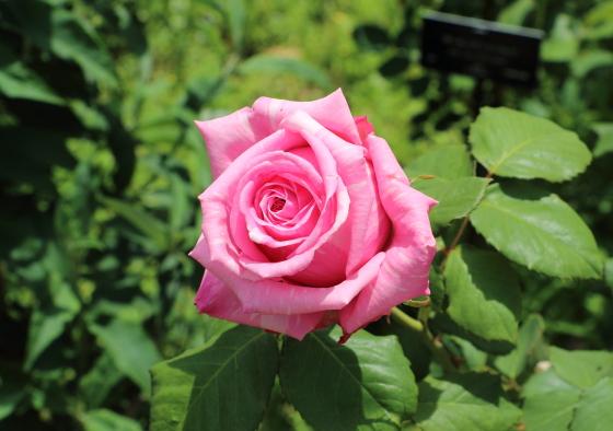 ブルゲメスター ベルガーはピンク色の花弁に白い絞りが入る