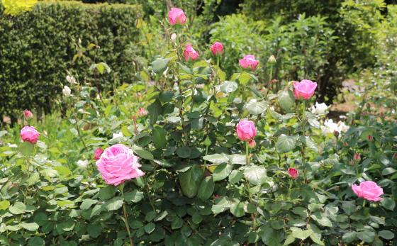 ブルゲメスター ベルガーは大輪サイズのバラ