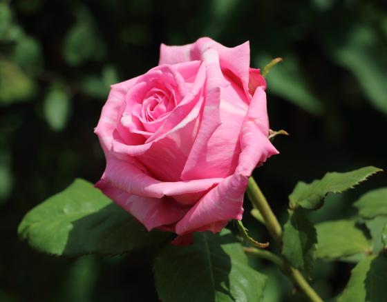 ブルゲメスター ベルガーは四季咲き性