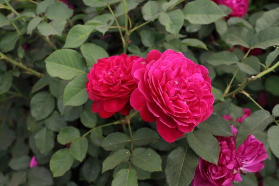 赤紫色のロゼット咲き