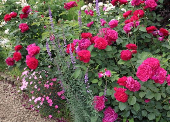 フルーツ系の芳香があるバラ