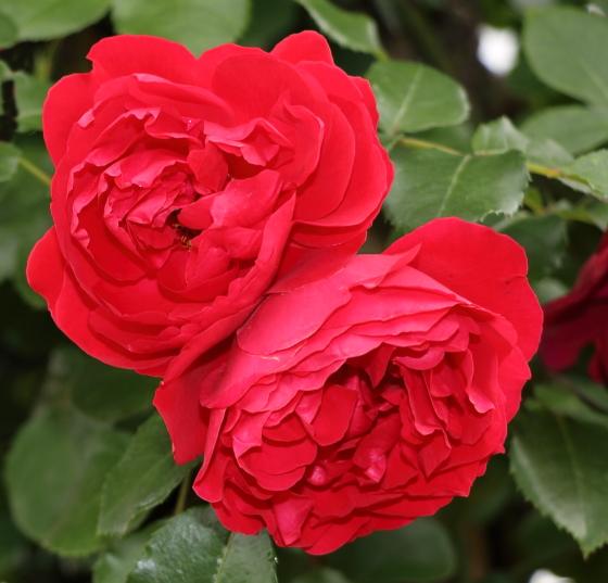 耐病性に優れている育てやすいバラ