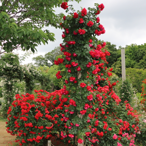 数輪の房咲きになり花つきがよいバラです