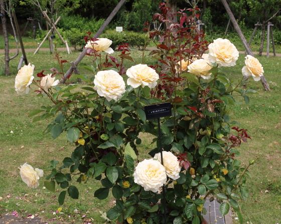 ロゼット咲きの中輪花