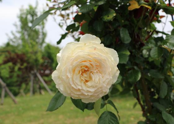ロゼット咲きのバラ