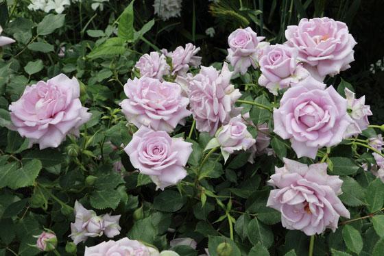 数輪の房咲きになり、花つきがよいバラ