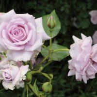 ラブリーブルーはミニチュア系統のバラ