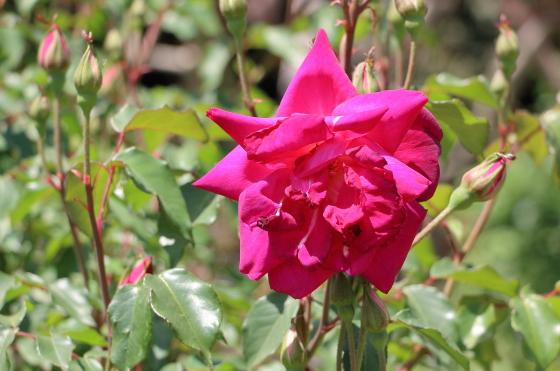 丸弁咲きの中輪バラ