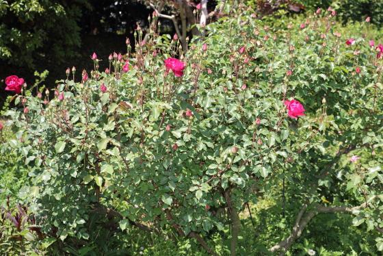 ティー系統の赤色バラ