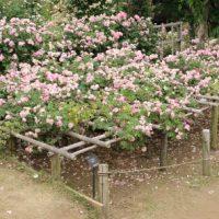 ローズピンク色のカップ咲き ローブリッター