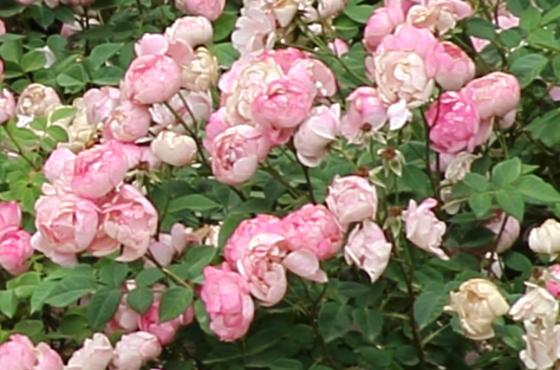 一季咲きのローブリッター