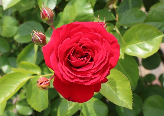 ロートケプヘンは中輪四季咲き品種