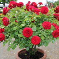 花つき花もちがよい赤色バラ