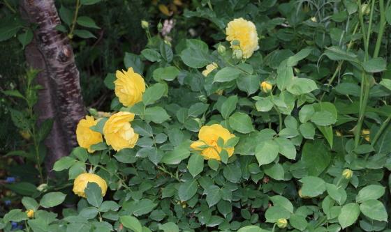 濃い黄色のカップ咲き