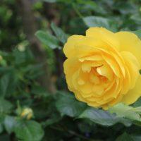 ラムのつぶやきは四季咲き性です
