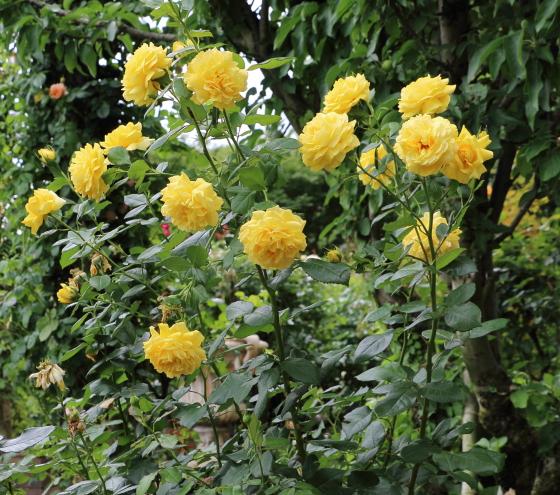 花枝が長いので切花用として広く利用されている