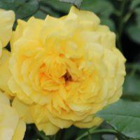 黄色の丸弁シャクヤク咲き