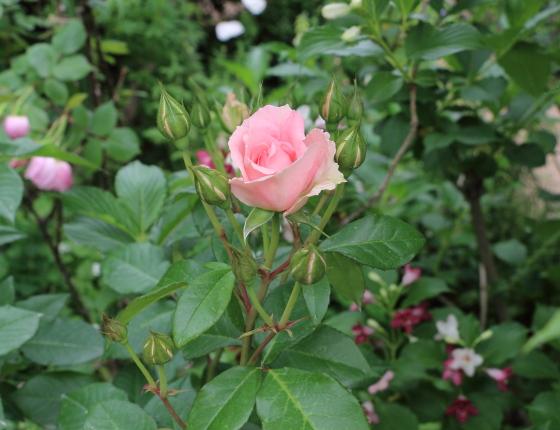 フロリバンダ系統の桃色のバラ