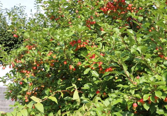 京成バラ園の姫リンゴ