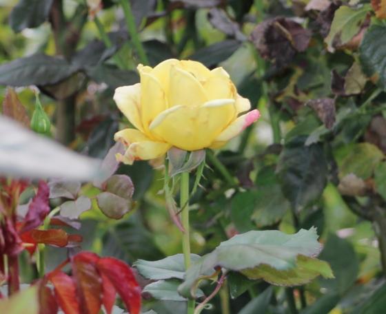 ベラローマは四季咲き性です