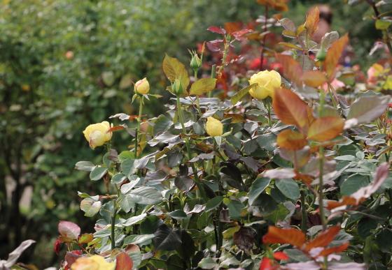 ベラローマは黄色の大輪花です