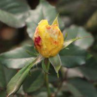 ベラローマは半剣弁高芯咲きです
