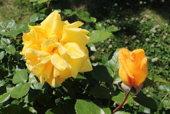 かぐや姫は四季咲き性です