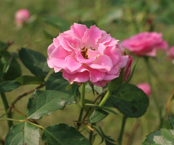 マリアージュ シャルマンは四季咲きです