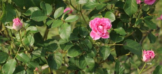 マリアージュ シャルマンの花形は半剣弁高芯咲きです