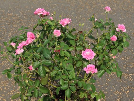 マリアージュ シャルマンの花色はピンクパープル色です