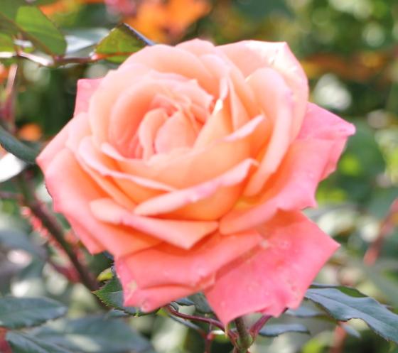 王朝は半剣弁高芯咲きです