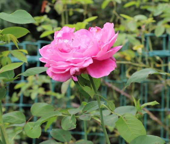 ポール ネイロンは丸弁抱え咲きの花です