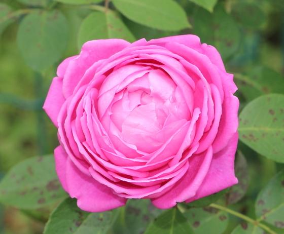 ポール ネイロンは返り咲き品種です