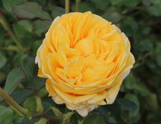 ポラリス・アルファの花色は明るい黄色
